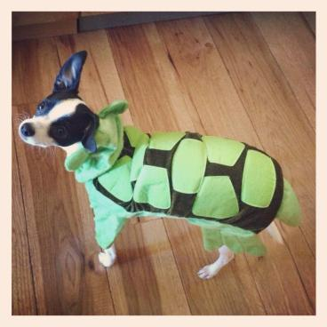 Rocco looks excellent as a turtle for Halloween.  He is a Terrapin after all.  Go TERPS!