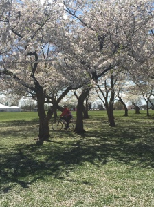 Just cycling through the cherry blossoms. NBD.